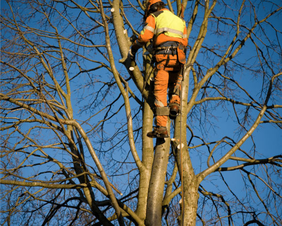 Tree crown reduction services being carried out in Folkestone